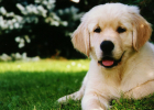 golden-retriever-outside